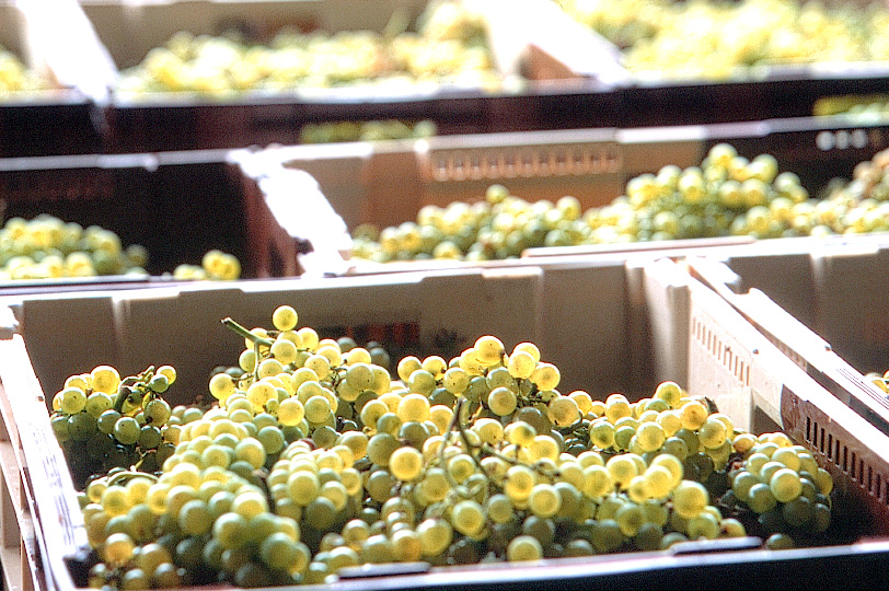 Freshly harvested Chardonnay grapes