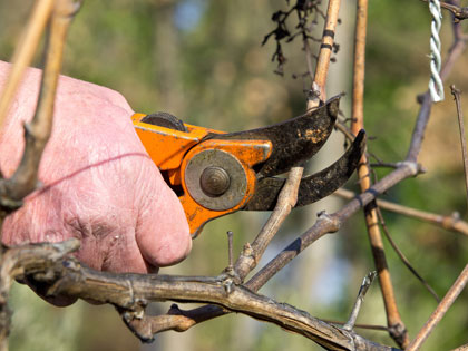 Traditional pruning of vines
